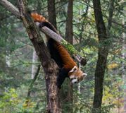 Red panda in tree Royalty Free Stock Photo