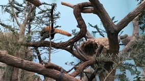 Red panda on a tree. Adorable Red Panda while on a tree looking for food. On a tree in a forest stock footage