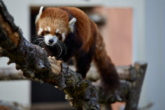 Red Panda On A Tree Stock Image