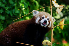 Red panda on a tree Royalty Free Stock Image