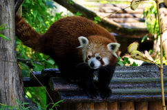 Red panda on a tree Stock Photo