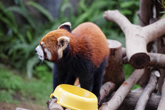 Red panda on the tree Royalty Free Stock Photos