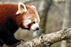 Red Panda on tree branch Royalty Free Stock Images
