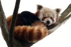 Red panda on a tree branch Royalty Free Stock Images