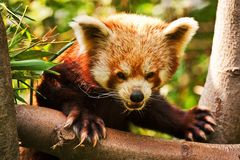 Panda red. Red Panda on a tree branch Royalty Free Stock Image