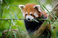 Red Panda on Tree Branch Royalty Free Stock Photos