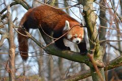 A red panda on a tree branch royalty free stock images