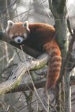 Red panda on a tree branch stock photography
