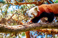 Red Panda on Tree Branch Royalty Free Stock Image
