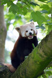 Red panda on tree branch Stock Photography
