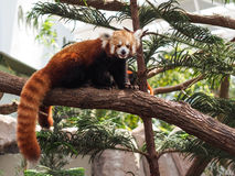 Red Panda lazing on a tree branch Stock Photos