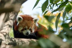 Red panda on a tree closeup. In the zoo Stock Images