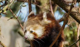 Red panda in tree. Red panda sitting in branches of tree on sunny day Stock Image
