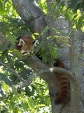 Red panda on tree Royalty Free Stock Images