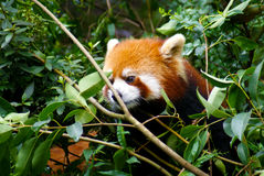 Red Panda On Tree. A red panda sit on tree Stock Photo