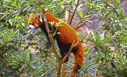 Red panda on tree Stock Photo