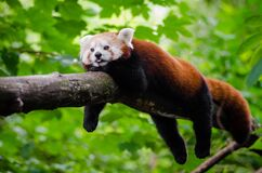 Red Panda trying to cool of a little Royalty Free Stock Photos