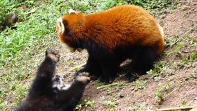 Red panda stock video footage