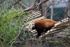 Red Panda in Vienna Schonbrunn Zoo. Stock Photos