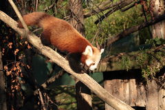 Red panda. Royalty Free Stock Image