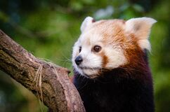 Red Panda Waiting For Lunch Royalty Free Stock Photography