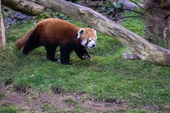 Red Panda Walking royalty free stock photos