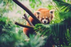 Red Panda walking along a bamboo tree Stock Image
