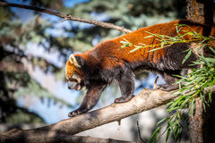 Red panda. Walking along a tree branch in Calgary zoo Royalty Free Stock Images