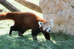 Red panda walking Stock Images