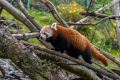 Red Panda walking in some trees. Red Panda walking among some trees stock photos