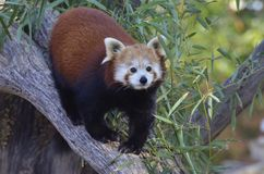 Red panda walking on tree Stock Images