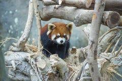 Red panda walking on the tree Royalty Free Stock Image