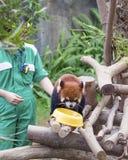 Red panda walking on the tree stock image
