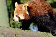 Red panda walking on tree Royalty Free Stock Photography