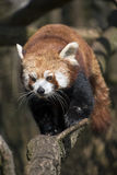 Red panda walks on tree branch Stock Photos