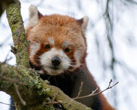 Red Panda Watches. A red panda keeps watch from high in a tree Royalty Free Stock Photos