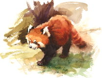 Red Panda Watercolor Animal Illustration Hand Painted Royalty Free Stock Image