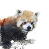 Red Panda Watercolor Stock Image