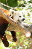 Red Panda Wild Animal Resting on Tree Limb Royalty Free Stock Photography