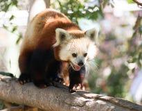 Red Panda Wild Animal Walking Down Tree Limb Stock Photography