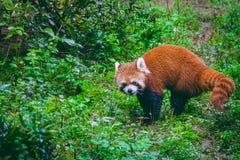 A Red Panda & x28; Ailurus fulgens & x29;. Royalty Free Stock Photo