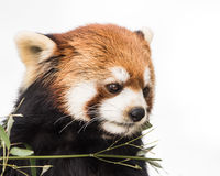 Red Panda XV Stock Image