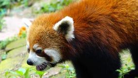 Red panda stock footage