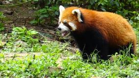 Red panda stock video