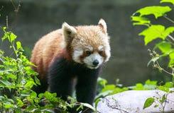 Red Panda at the zoo in Chengdu, China Royalty Free Stock Image