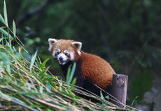 Red Panda at the zoo in Chengdu, China Royalty Free Stock Photos
