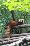 Red Panda at the zoo in Chengdu, China Royalty Free Stock Images