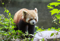 Red Panda at the zoo in Chengdu, China. This picture is taken at the zoo in Chengdu, China. The red panda Ailurus fulgens, also called the lesser panda, the red Stock Photos