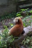 Red Panda at the zoo in Chengdu, China Stock Photos