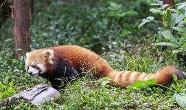 Red Panda at the zoo in Chengdu, China Royalty Free Stock Photography